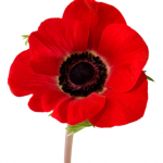 picure of a red poppy
